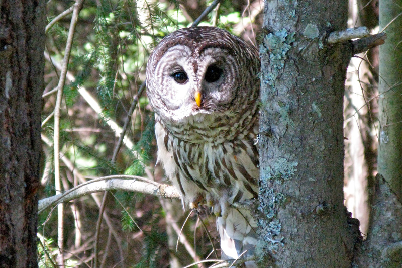 Barred Owl | © Neogunk Inc.